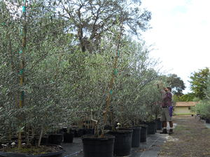 Nice Our Olive Tree Nursery