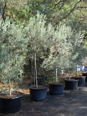 Olive Tree Growers - Buy olive trees. Order olive trees online.