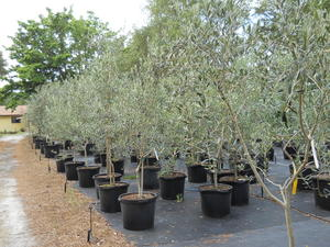 Ornamental olive tree varieties 100 images fruitless for Olive arbequina care