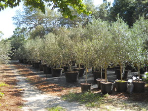 Olive tree growers the care and feeding of olive trees for Olive arbequina care