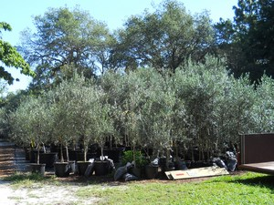 Exceptional 45 Gallon Trees