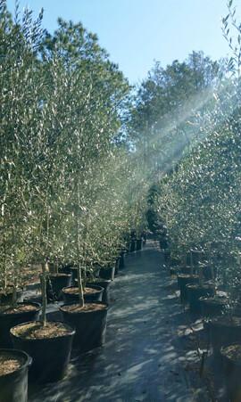 The Olive Log