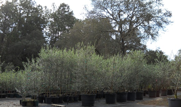 Olive Tree Growers Suppliers Nursery Florida Olives